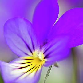 Heiko Koehrer-Wagner - Pansy violet
