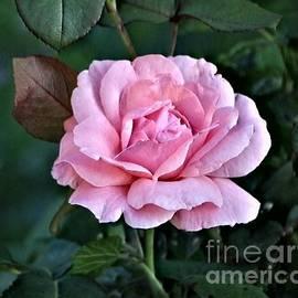 Jari Hawk - Paper Pink Rose