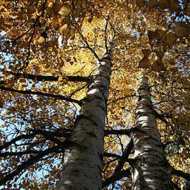 Sharon Mau - Paperbark Birch Autumn Gold Alaska North Star