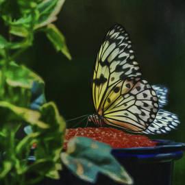 Kathleen Rinker - Papillon