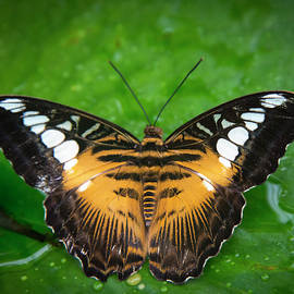Phil Rispin - Papillon