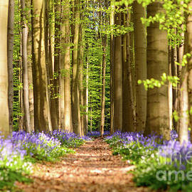 Sinisa CIGLENECKI - Path in the Woods, Hallerbos