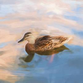 Daphne Sampson - Peaceful Mallard Swim During Twilight