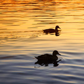 Daphne Sampson - Peaceful Mallards Sunset