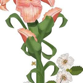 Anne Norskog - Peach colored Iris Botanical