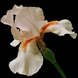 Carol Deltoro - Peach Iris