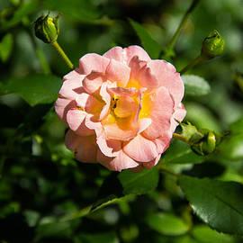 Brian Manfra - Peach Rose