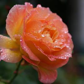 Carrie Goeringer - Peach Rose