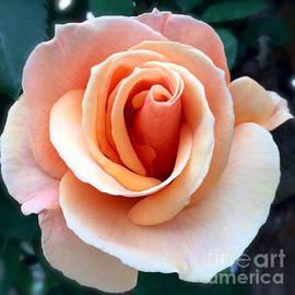 Wonju Hulse - Peach rose