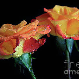 Tracy Hall - Peach Roses