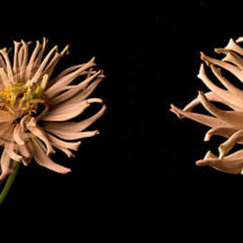 Peach Zinnia Diptych - Don Spenner