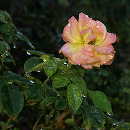 Ruth Jolly - Peachy Rose