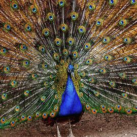 Alexander Cherevan - Peacock