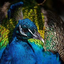 Karol Livote - Peacock Closeup