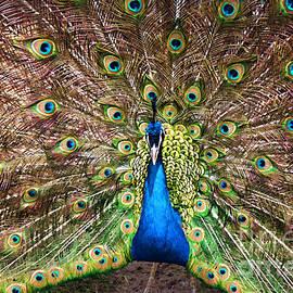 Barbara McMahon - Peacock Courtship