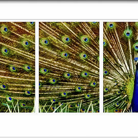 Geraldine Scull   - Peacock feathers in frame triptych