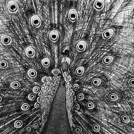 Steven Ralser - Peacock in Black and White
