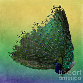 Terry Weaver - Peacock on Colorful Background