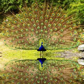 Geraldine Scull   - Peacock Reflection
