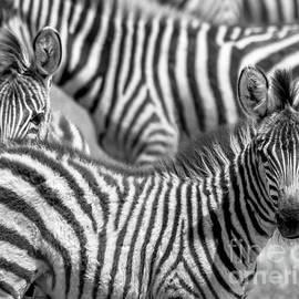 Chris Scroggins - Peek a Boo Zebra