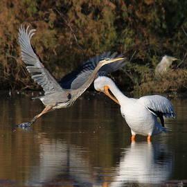 Matt Blankenship - Pelican and Herons