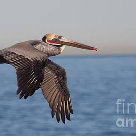Ruth Jolly - Pelican in the California Skies