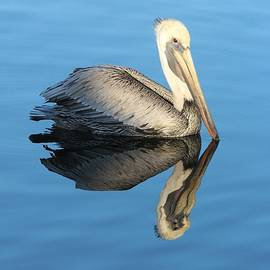 Marie Alvarez - Pelican Reflection
