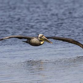 Ruth Jolly - Pelican Skimming the Ocean