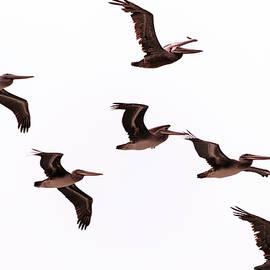 Steven Richman - Pelicans at Half Moon Bay