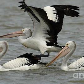 Bob Christopher - Pelicans Australia 4