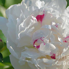 Luv Photography - Peonies Blossoms