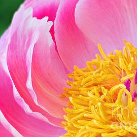 Carsten Reisinger - Peony blossom - Paeonia