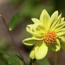 Zina Stromberg - Peony-Flowered dahlia