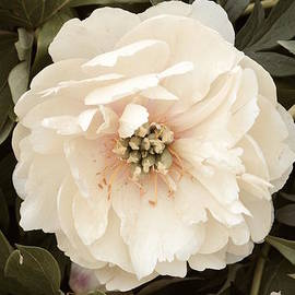 Jeannie Rhode Photography - Peony in Soft White
