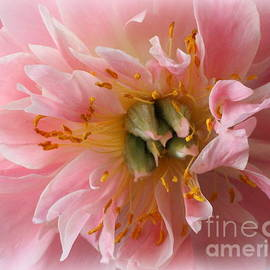 Dora Sofia Caputo Photographic Art and Design - Peony Radiant in Pink
