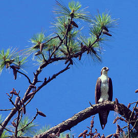 Aaron Rushin - Perched Osprey