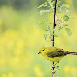 John Vose - Perched Yellow Warbler