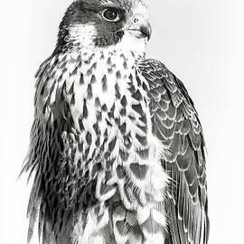 Regina Geoghan - Peregrine Falcon Portrait