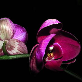 Joyce Dickens - Phalaenopsis Beauties