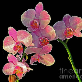 Rodney Campbell - Phalaenopsis Orchid