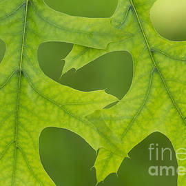 Pin Oak Leaves - Tim Gainey