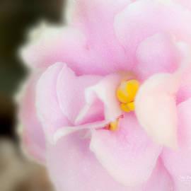 John Bailey - Pink African Violet