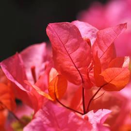Rona Black - Pink and Orange Bougainvillea - Square