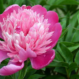 Ed Mosier - Pink and Pretty Peony