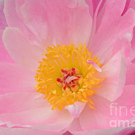 Regina Geoghan - Pink and Pretty Peony