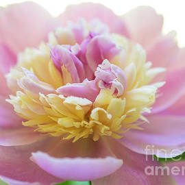 Alana Ranney - Pink and White Peony