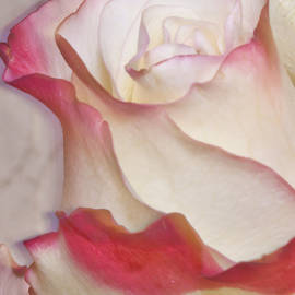 Sandra Foster - Pink And White Rose