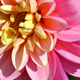 Beverly Canterbury - Pink and Yellow Dahlia