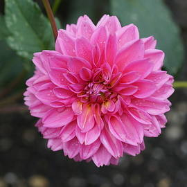 Carrie Goeringer - Pink and Yellow Dahlia