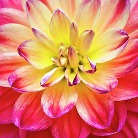 Cherie Taylor - Pink and Yellow Dahlia